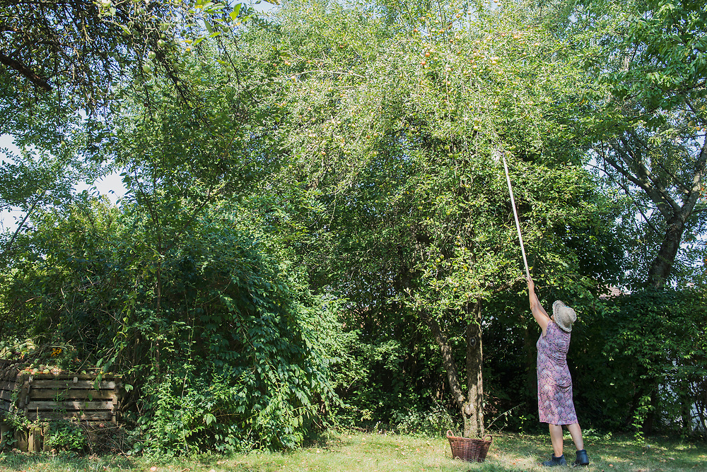 Woman picking apples with a stick in garden, Altoetting, Bavaria, Germany