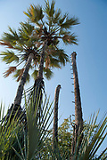 Makalani palm (Hyphaene petersiana), AKA the real fan palm. Photographed at the Kunene River (Cunene River), the border between Angola and Namibia, south-west Africa