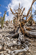 Ancient trees and their roots have grown twisted into fascinating shapes in the harsh dry alpine climate at Schulman Grove, in the Ancient Bristlecone Pine Forest, Inyo National Forest, in the White Mountains, near Big Pine, California, USA. The world's oldest known living non-clonal organism was found here in 2013 -- a Great Basin bristlecone pine (Pinus longaeva) 5064 years old, germinated in 3051 BC. It beat the previous record set by the famous nearby 4847-year-old Methuselah Tree sampled around 1957. Starting from the visitor center at 9846 feet, we hiked the Cabin Trail loop, returning along Methuselah Grove Trail (highly recommended, to visit the world's oldest living trees), with views eastward over Nevada's basin-and-range region. An important dendrochronology, based on these trees and dead bristlecone pine samples, extends back to about 9000 BC (with a single gap of about 500 years).