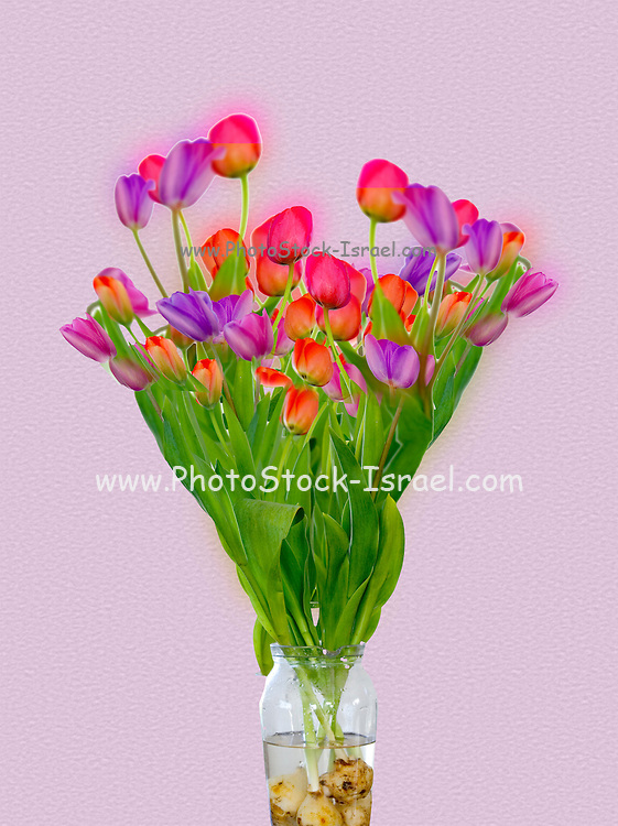 Tulips in a transparent glass vase of water Digitally manipulated
