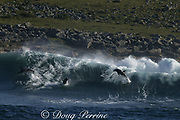 bottlenose dolphins, Tursiops aduncus ( formerly T. truncatus ), leap from the back of a wave they were surfing,  during annual Sardine Run, Transkei, South Africa ( Indian Ocean )