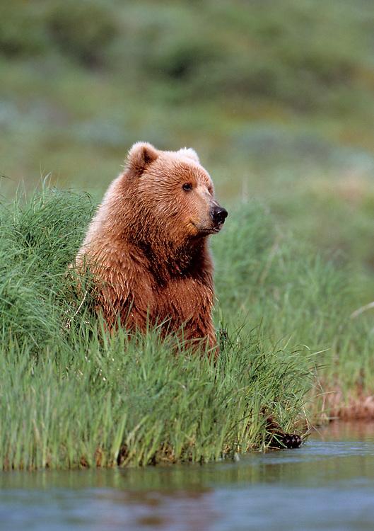 Alaska. Kodiak . Young brown bear poses next to river.
