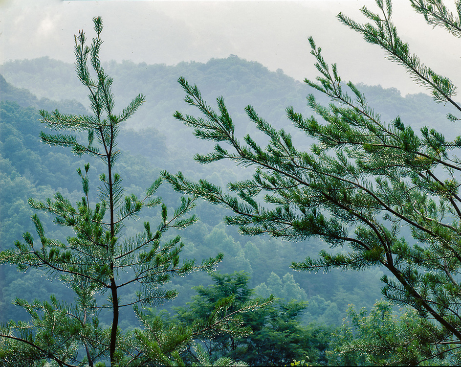Pine tree with rain droplets, view from the Balsam Mountain Road, spring, Great Smoky Mountains National Park, Tennessee, USA