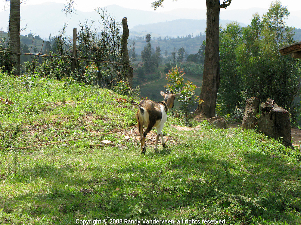 Rwanda- A tethered goat is held near a Rwandan home in that country's Southern Province. Goats are raised for food but the majority of Rwandans refuse to drink the milk the animals produce for cultural reasons.
