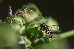 April 18, 2018 - Euboea, central greeece, Greece - Bee collecting pollen in Nea Artaki on Euboea in Nea Artaki on Euboea on April 17. (Credit Image: © Wassilios Aswestopoulos/NurPhoto via ZUMA Press)