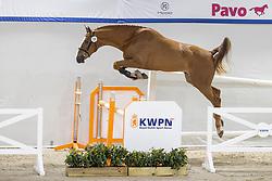 028, Nacho CM vd Wolfshoeve<br /> KWPN Hengstenkeuring 2021<br /> © Hippo Foto - Dirk Caremans<br />  02/02/2021