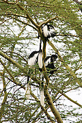 Kenya, Aberdare National Park, Kenya, black and white colobus: colobus polykomos angolensis in a tree