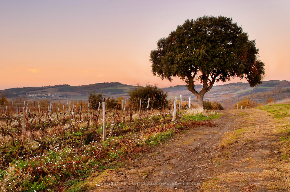 Domaine d'Antugnac. Limoux. Languedoc. Last rays of light a late winter evening. France. Europe. Vineyard.