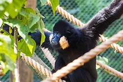 ZSL London Zoo, May 25th 2017.  A gibbon hangs out in the morning sun during a photocall to promote ZSL London's newest exhibit, a treehouse style enclosure that will open to the public on Saturday 27th of May. The exhibit is home to duo Jimmy and Yoda, that will take people on a journey high into the Northern white-cheeked gibbon's (Nomascus leucogenys) treetop habitat, where they'll be able to watch the pair swing gracefully through a maze of branches and ropes.