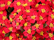 Close-up of the bright pinky-red flowers of Achillea 'Beacon' growing in West Acre Gardens in Norfolk