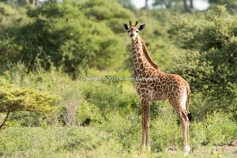 Young Masai giraffe  in the Selous Game Reserve, Tanzania. The 50,000 square kilometer Selous Game Reserve is a UN World Heritage Site and is one of the largest remaining wilderness areas in Africa. The reserve is threatened by the proposed construction of the Stiegler's Gorge Dam Project along the Rufiji River that will flood nearly 1000 square kilometers in the middle of the reserve. (Photo by William Campbell-Corbis via Getty Images)