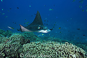 spotted eagle ray, Aetobatus narinari, being cleaned by bluestreak cleaner wrasse, Labroides dimidiatus, and bicolor cleaner wrasse, Labroides bicolor, at Ice Cream Bommie, Saipan, Commonwealth of Northern Mariana Islands, Micronesia, Pacific Ocean
