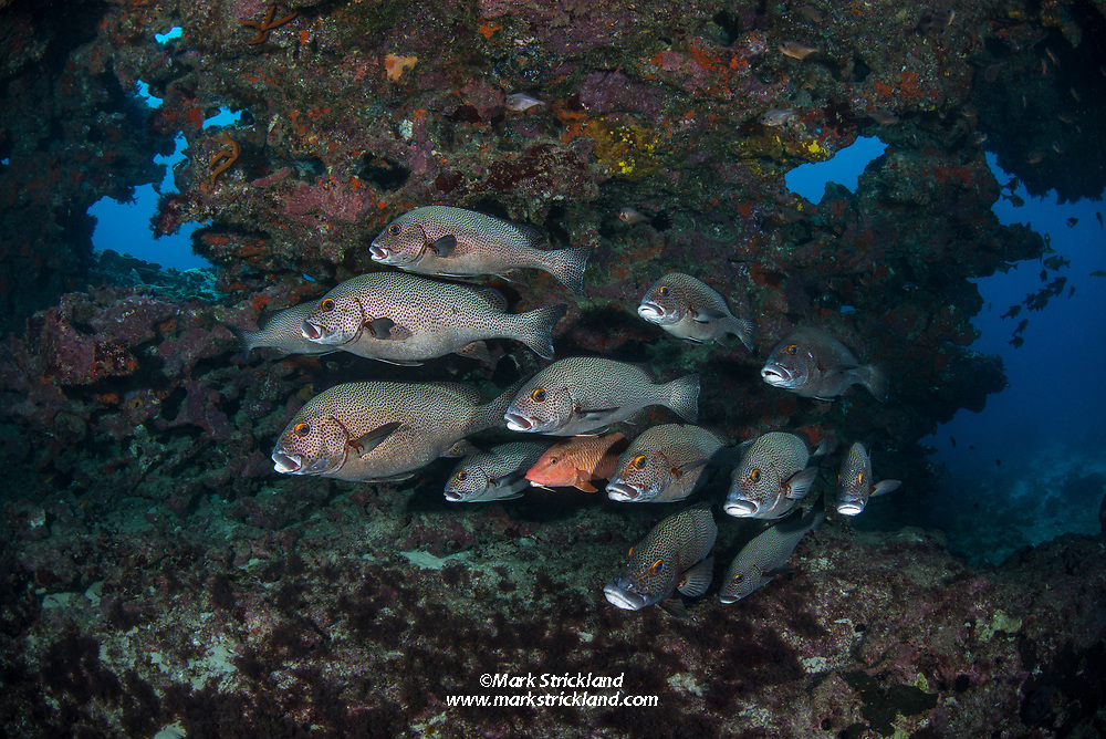 A lone Black Spot Goatfish, Parupeneus spilurus, swims among Dotted Sweetlips, Plectorhinchus picus. The Archway, Lord Howe Island, Pacific Ocean