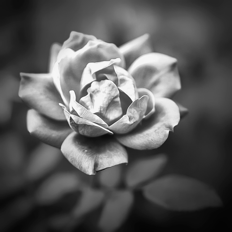 A soft muted blooming rose in black and white.