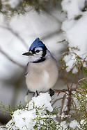 01288-05817 Blue Jay (Cyanocitta cristata) in Juniper Tree in winter Marion Co. IL