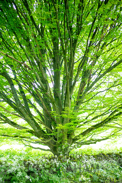 Common Hornbeam tree - Carpinus - in summer leaf in The Cotswolds at Swinbrook in Oxfordshire, UK