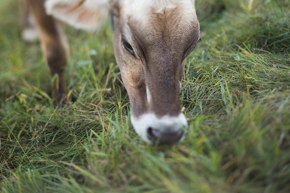 closeup of brown swiss cow grazing