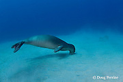 Hawaiian monk seal, Monachus schauinslandi, yearling female ( critically endangered species ) with tag on flipper, foraging in sand, Mahukona, Kohala, Hawaii Island ( the Big Island ) Hawaiian Islands, USA ( Central Pacific Ocean )