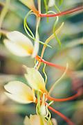 The flower of an invasive kahili ginger (Hedychium gardnerianum) along the Pihea Trail, Kokee State Park, Kauai, Hawaii.