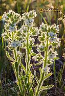 Backilt Miners Candle wildflowers near Dupuyer, Montana, USA