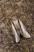 Close-up of a Swallow Prominent moth (Pheosia tremula) resting camouflaged on an old tree stump during the day in a Norfolk wood