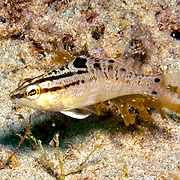 Twinspot Bass inhabit sea grass beds, shallow reefs and areas of mixed sand and rubble in the Caribbean; picture taken Panama near San Blase Islands.