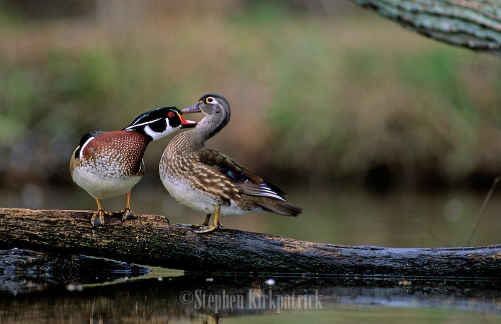 Wood Ducks in spring courtship - Mississippi.