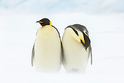 Two Emperor Penguins (Aptenodytes forsteri) in their windy environment, Snow Hill Island, Weddell Sea, Antarctica.