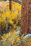 Jeffrey Pine, Cottonwood, Aspen and Willow, Inyo National Forest,Mono County, Caifornia