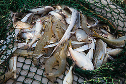 Trawling net bycatch containing a variety of marine life from Galveston Bay on Texas Gulf Coast.