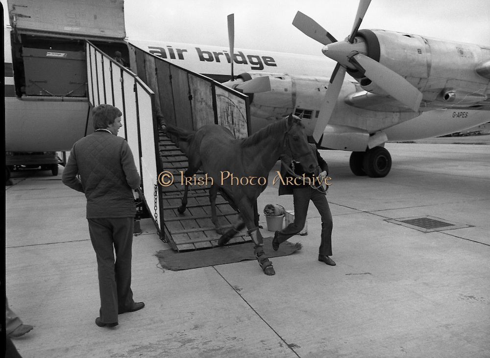 """Shergar At Dublin Airport.   (N82)..1981..25.06.1981..06.25.1981..25th June 1981..With the Irish Sweeps Derby being run on Saturday, """"Shergar"""",the race favourite arrived at Dublin Airport today. the Sweeps Derby will be held on the Curragh Racecourse, Co Kildare. Shergar is owned by the stables of the Aga Khan..A travelling companion for Shergar is unloaded from the aircraft at Dublin Airport, aeroplane"""