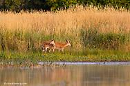 Whitetail deer fawns along Lazy Creek near Whitefish Montana