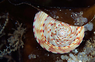 Painted topshell, Calliostoma zizyphinum, on a kelp leaf<br /> Moere coastline, Norway