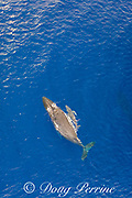 aerial view of humpback whales, Megaptera novaeangliae, mother and calf swimming at surface, West Maui, Hawaii, Hawaii Humpback Whale National Marine Sanctuary, USA ( Central Pacific Ocean )