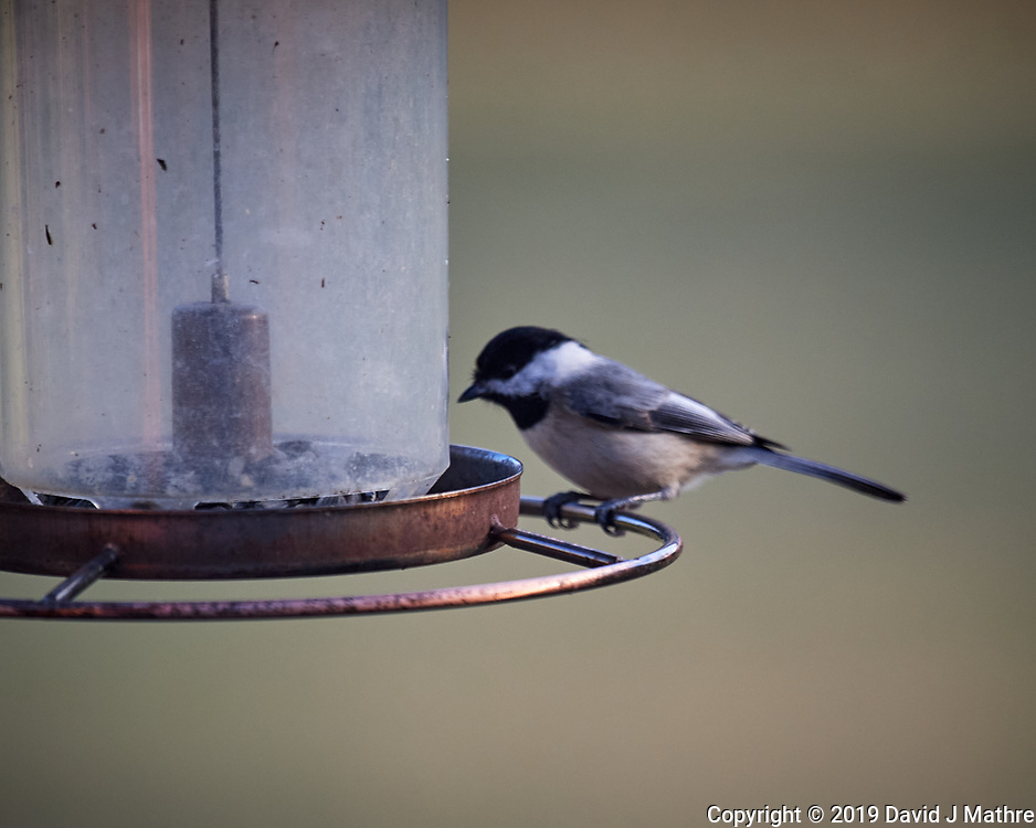 Black-capped Chickadeel. Image taken with a Nikon D5 camera and 600 mm f/4 VRII lens
