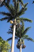 Royal Palms, Old Onemea Rd. Hamakua Coast, Island of Hawaii