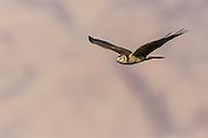 Pallid Harrier - Circus macrourus