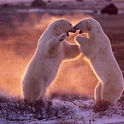 Polar Bear (Ursus maritimus) wrestling in Churchill, Manitoba, Canada.