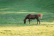 Hamptonburgh, New York - Horses graze in a field at Kaz Hill Farm on Aug. 5, 2017.