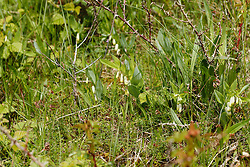 Duinsalomonszegel, Polygonatum odoratum