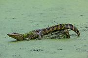 Alligator adolescent restinf on log in duckweed