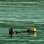Sea otter floating along in the cold waters of Aialik Bay Kenai Fjords National Park Alaska.