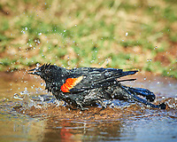 Red-winged Blackbird Agelaius phoeniceus). Campos Viejos, Texas. Image taken with a Nikon D4 camera and 600 mm f/4 VR lens