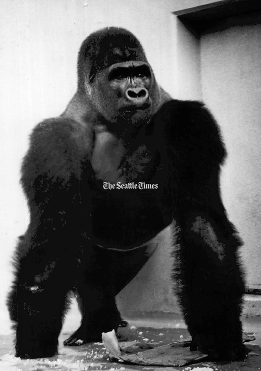 Bobo, the Woodland Park Zoo's Prime attraction, celebrated his 13th birthday. (The Seattle Times, 1964)