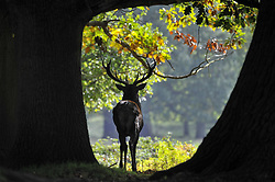 October 4, 2017 - London, UK - London, UK.  Red deer take part in the annual rut in Richmond Park, which occurs during October and November. (Credit Image: © Stephen Chung/London News Pictures via ZUMA Wire)