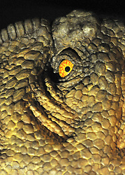 © licensed to London News Pictures. LONDON UK. 20/04/11. A detail of the eye of the animatronic Tarbosaurus. Dinosaurs make a return to the London's Natural History Museum in this summer's family blockbuster exhibition, Age of the Dinosaur. .See special instructions for usage rates. Photo credit should read Stephen Simpson/LNP