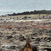 South America, Ecuador, Galapagos, South Plaza Island. Sea lions of South Plaza Island.