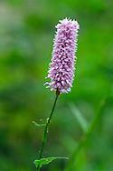 A Greater Burnet (Sanguisorba sp.) flower in a backyard herb garden