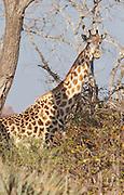 A giraffe in the shade of a tree in the Okavango Delta in Botswana