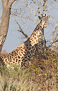 A giraffe in the shade of a tree in the Okavango Delta in Botswana